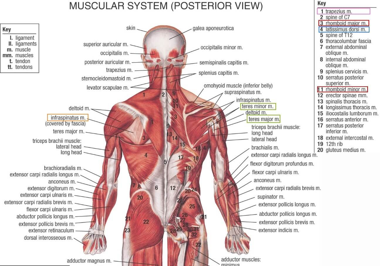 muscle masterclass : lats – sebastian fitness solutions, Human Body
