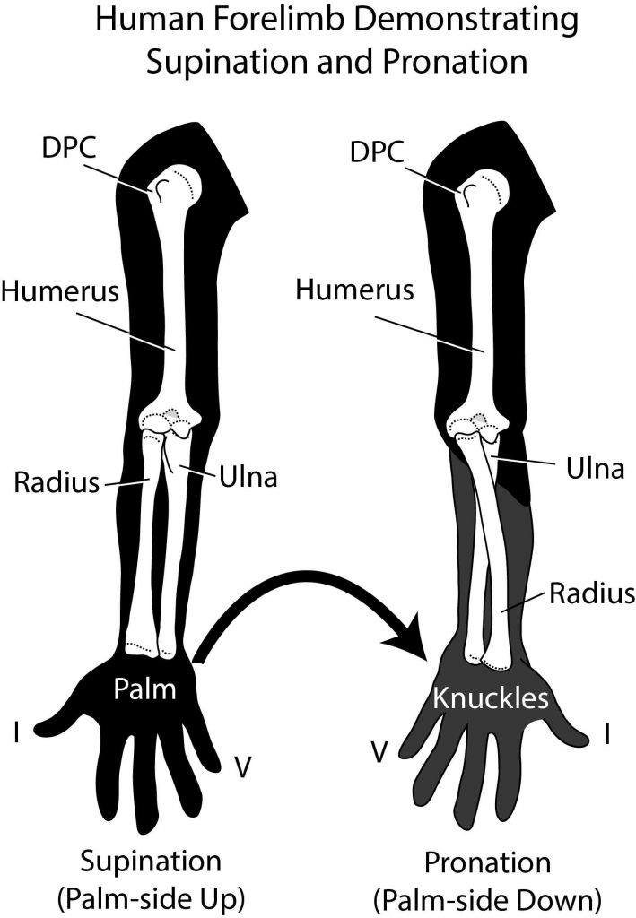 Supination and Pronation | OVERHAND vs UNDERHAND Tricep Extensions | What's better?